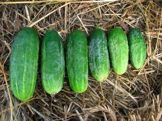 BLEND  Small Vine Cucumber (Patio Mix)