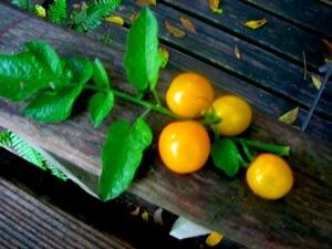 Solanaceae Tomatoes