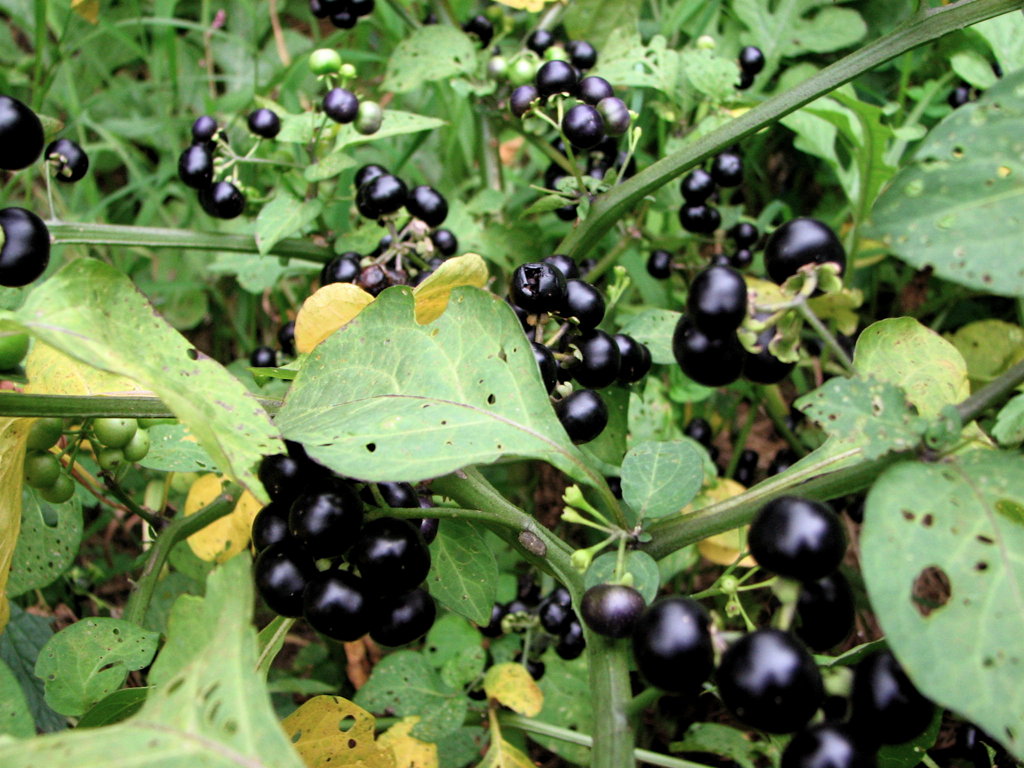 Awesome The Selection Of Black Nightshade Sold As Garden Huckleberry Is A Branching  Annual To 2 Feet Tall With Upright Growth, Oval Leaves With Wavy Margins,  ...