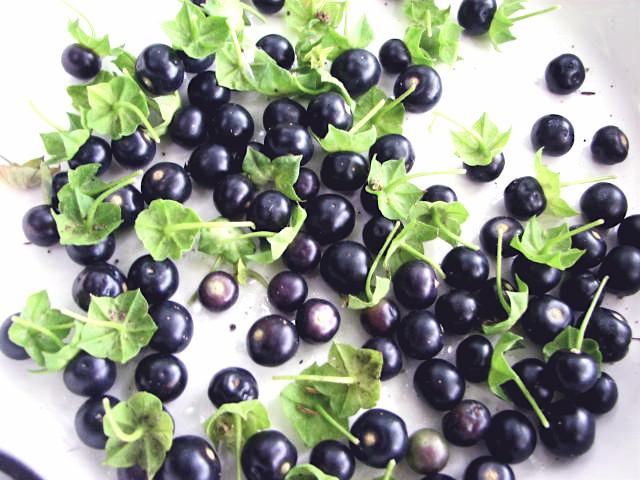 Long Island Seed Project/Garden Huckleberry