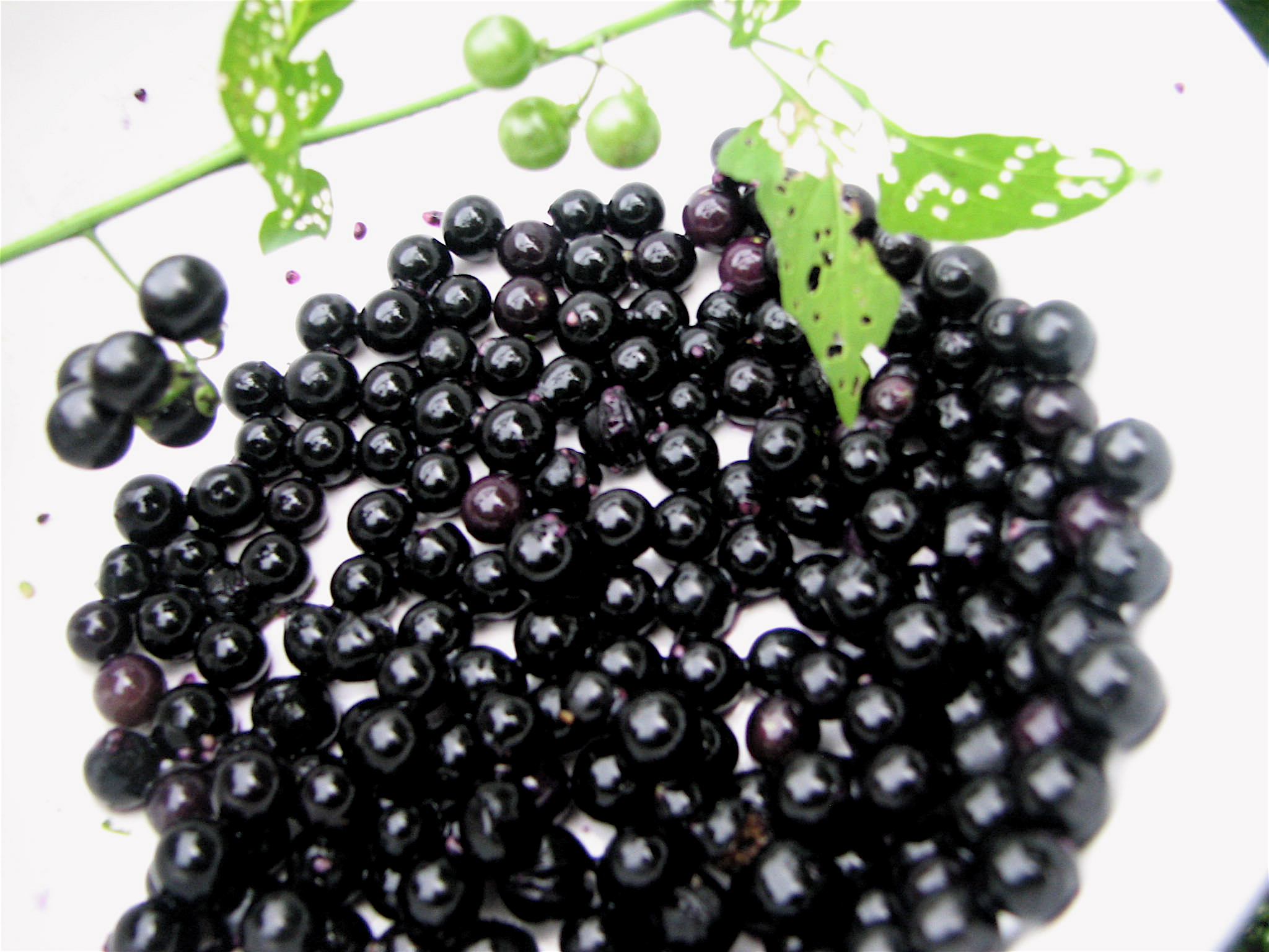 So For The Record, Garden Huckleberry Available Through Commercial Sources  Today Is Not The Same As The Solanacea Marketed Today As Sunberrry.